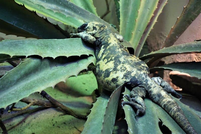 Monstruo del Gila gordo en el cactus fotografía de archivo