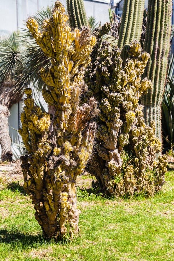 Download Monstruosus Cereus стоковое изображение. изображение насчитывающей суккулентно - 40588461