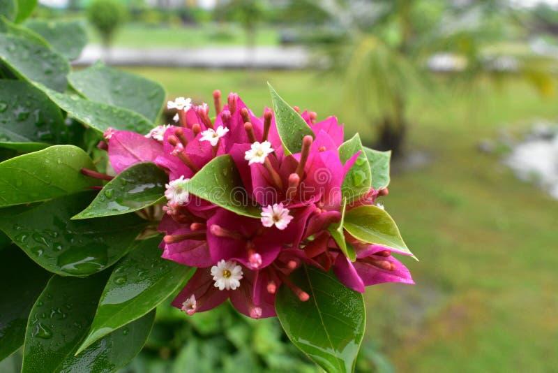 Monsun menchii kwiat zdjęcie stock