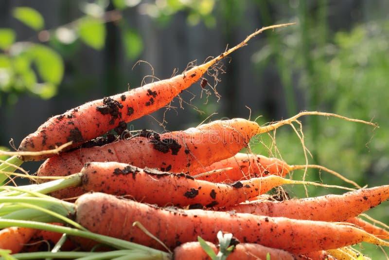 Montão das cenouras recentemente escolhidas que encontram-se na terra imagem de stock