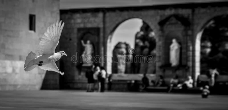 Montée blanche de colombe images libres de droits
