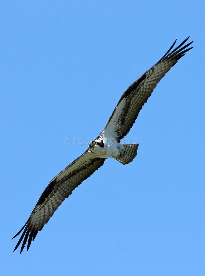 Montée d'Osprey photo libre de droits