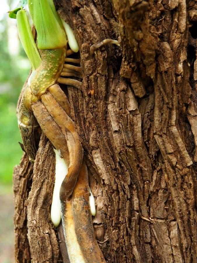 Montée de racines sur l'arbre photographie stock libre de droits