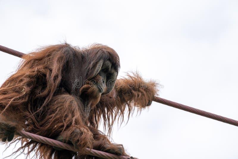 Montées d'orang-outan sur le cours ligne de la o de corde au parc zoologique national de Smithsonien dans le Washington DC photos libres de droits