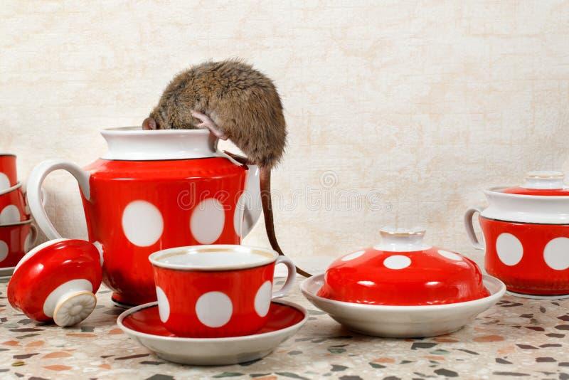 Montées de rat du plan rapproché un dans la théière près des tasses rouges sur la partie supérieure du comptoir à la cuisine dans photo stock