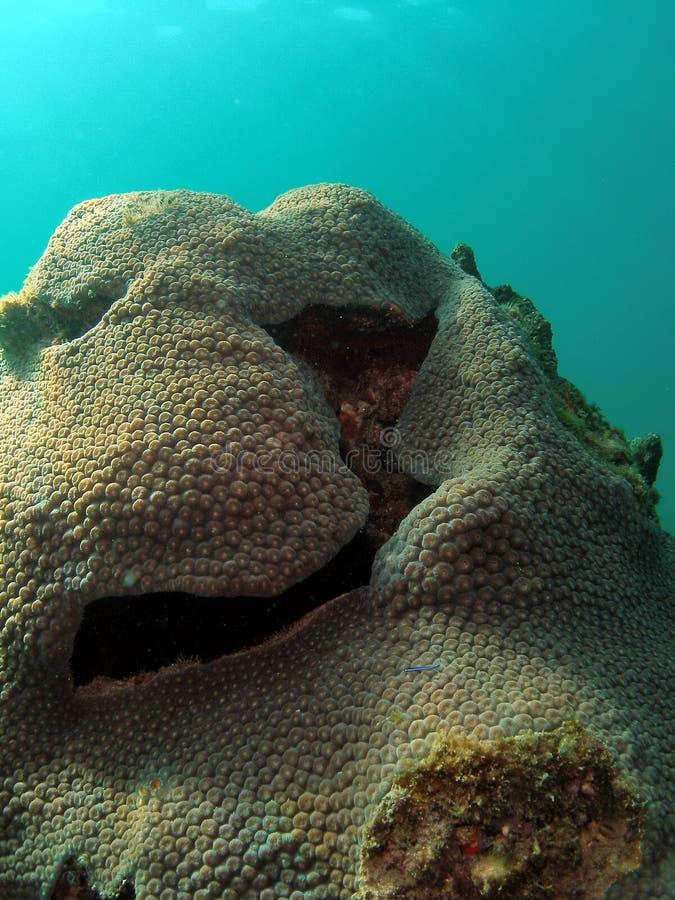 Montón del coral de la estrella foto de archivo