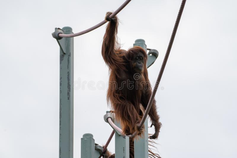 Mont?es d'orang-outan sur le cours ligne de la o de corde au parc zoologique national de Smithsonien dans le Washington DC images libres de droits