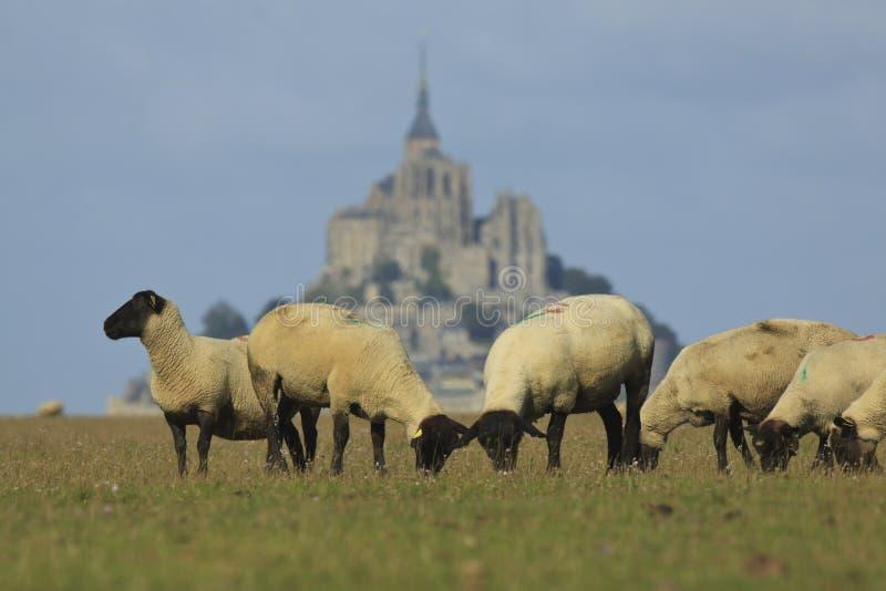 Mont Saint Michel e carneiros imagem de stock royalty free