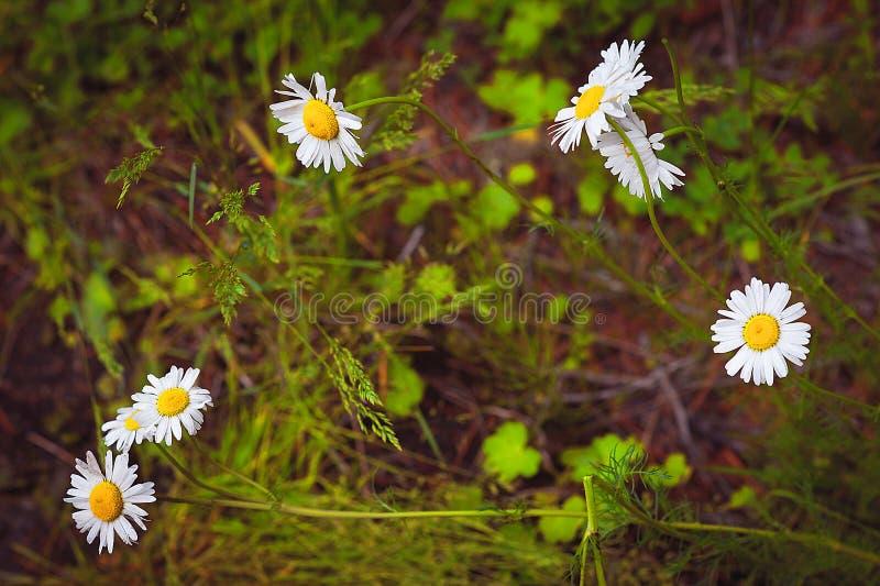 Montaña Altai las margaritas en un campo verde, montaña Albelye florecen en la hierba verde imagen de archivo libre de regalías