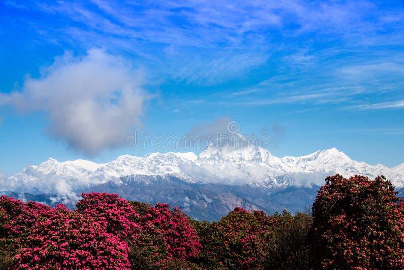 Montaña de Dhaulagiri y vista de árbol del rododendro desde arriba de Poonhill en área de la protección de Annapurna imagen de archivo libre de regalías