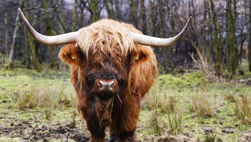 Montaña escocesa de la vaca fotos de archivo