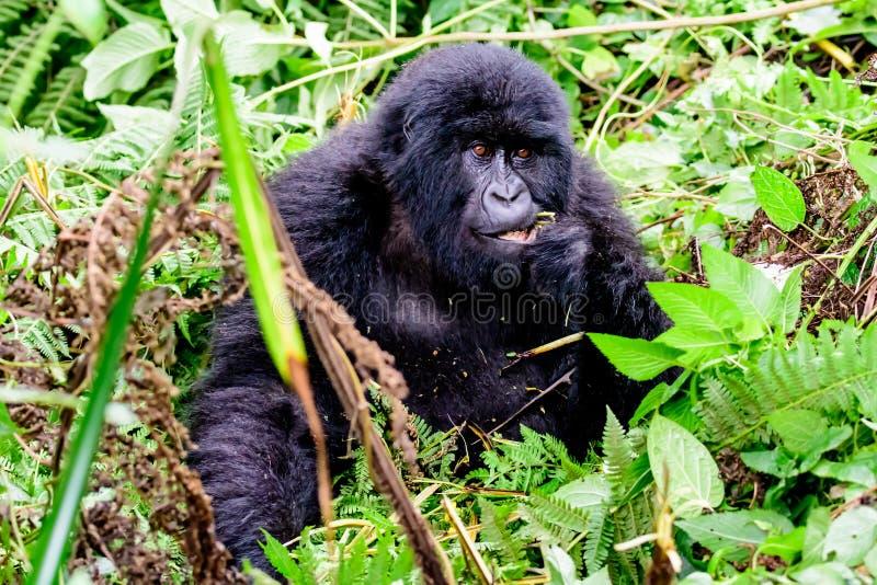 Montaña Gorilla Eating en el bosque foto de archivo libre de regalías