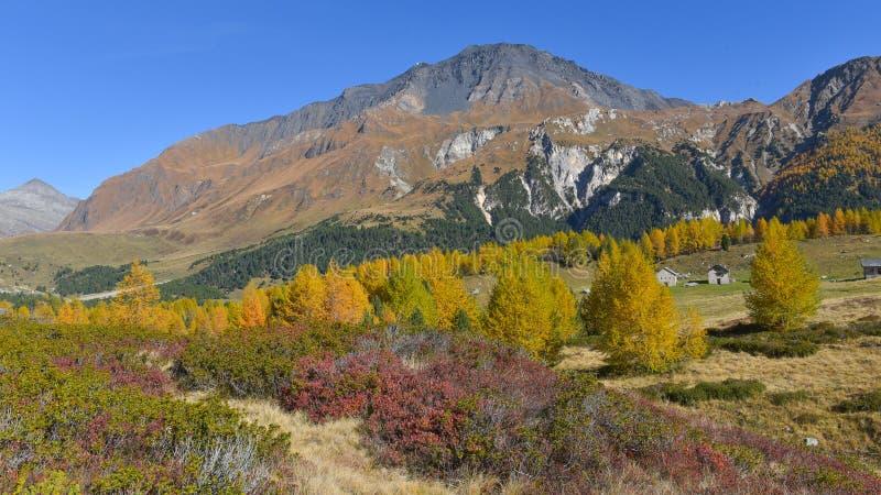 Montaña panorámica, con los pinos, los alerces amarillos y los arbustos de arándano foto de archivo libre de regalías