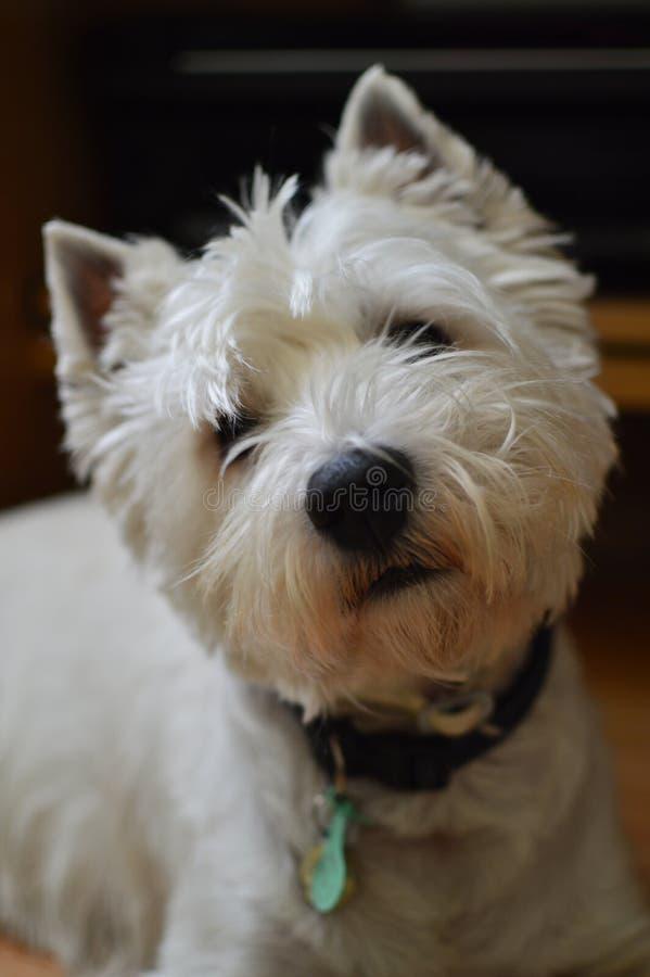 Montaña Terrier blanco del oeste atento a lo que usted está diciendo Westy Naturaleza, perro, animal doméstico, retrato fotos de archivo libres de regalías