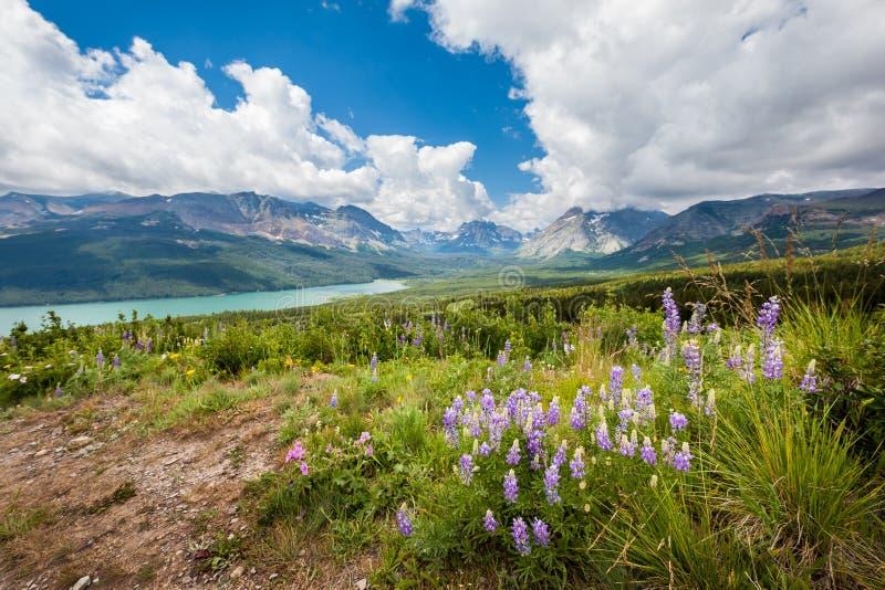 Montaña y flor salvaje en la primavera, Parque Nacional Glacier imagenes de archivo