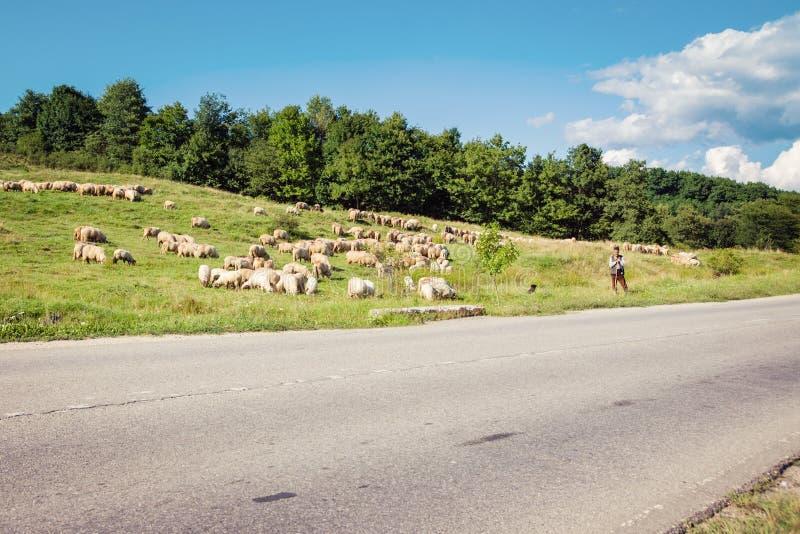 Montañas cárpatas en Rumania - 17 de agosto de 2017: Pastor y una manada de las ovejas cerca del camino, cultivo tradicional en R foto de archivo libre de regalías