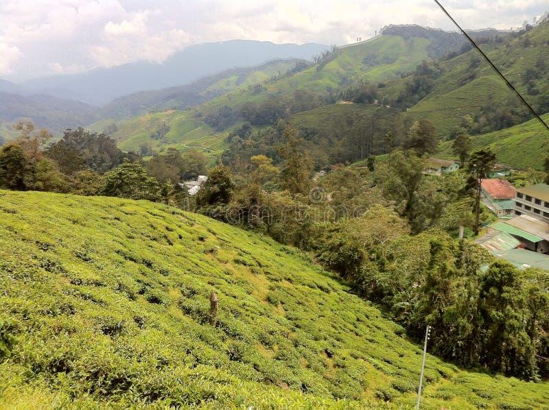 Montañas del Camerún del estado del té @, Malasia fotografía de archivo libre de regalías