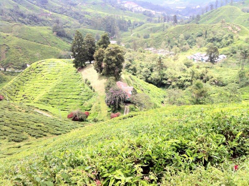 Montañas del Camerún del estado del té @, Malasia fotos de archivo libres de regalías