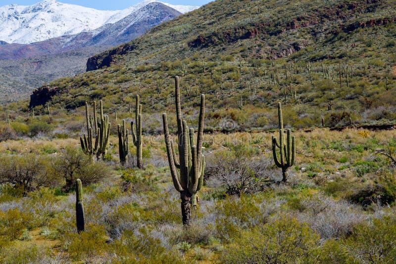 Montañas nevadas con el cactus del saguaro cubierto en paisaje de la nieve fotos de archivo libres de regalías