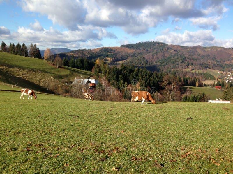 Montañas y vacas foto de archivo libre de regalías