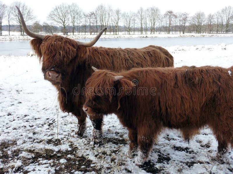 Montañeses escoceses en paisaje del invierno fotografía de archivo