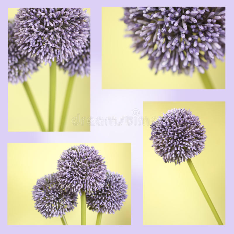 Download Montage Of Purple Alium Flowers Stock Photo - Image: 10264508
