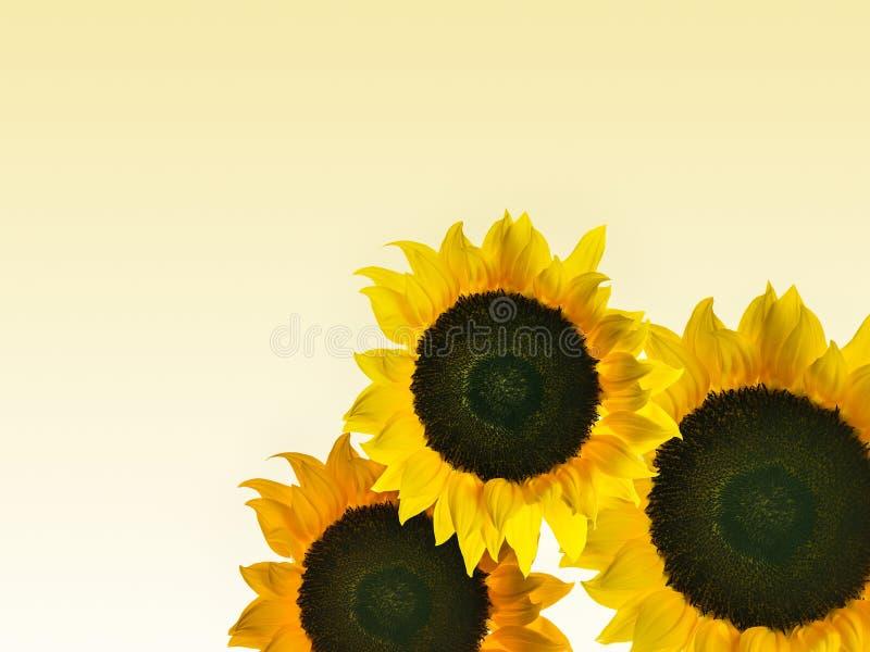 Montaggio di alta risoluzionedella foto individualmente dei girasoli classificati colore fotografie stock
