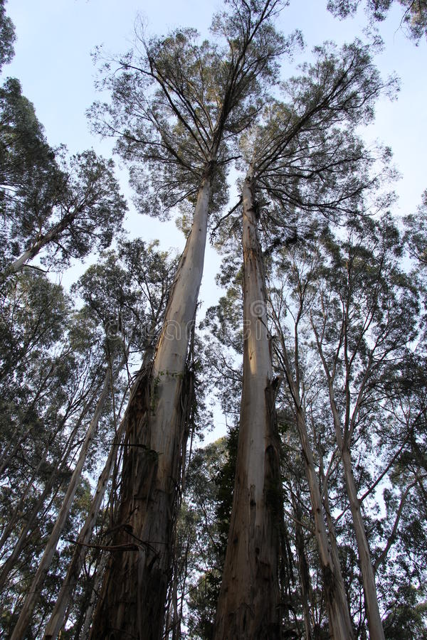 Montagna Ash Eucalyptus 3 - Kalorama, Victoria, Australia immagini stock libere da diritti