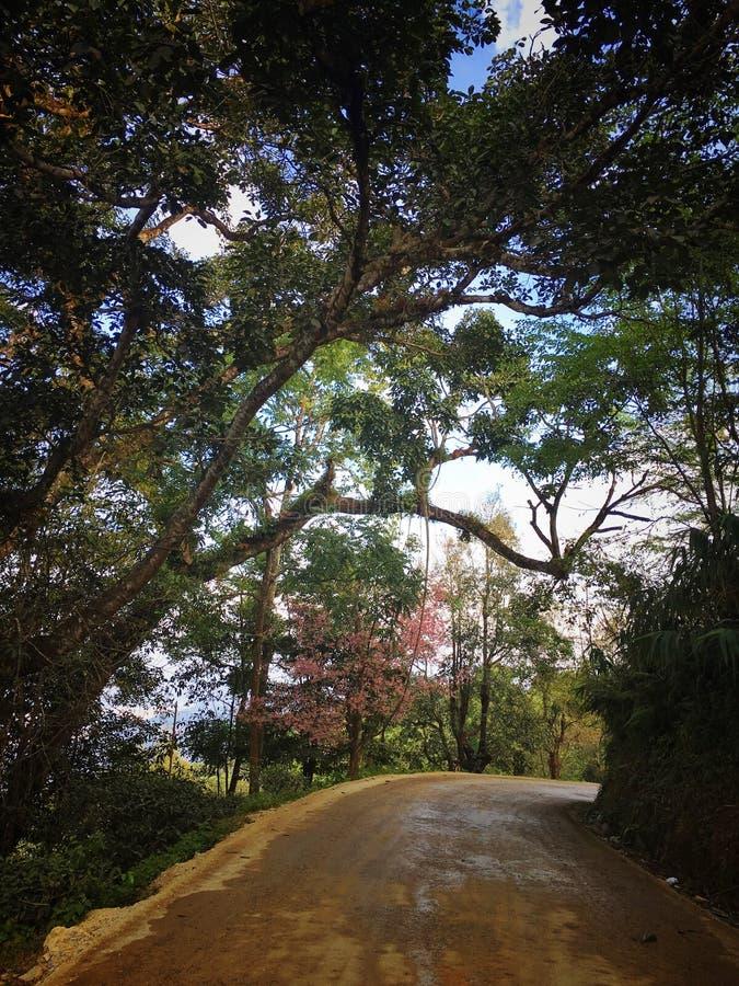 montagna dell'albero del tè fotografia stock