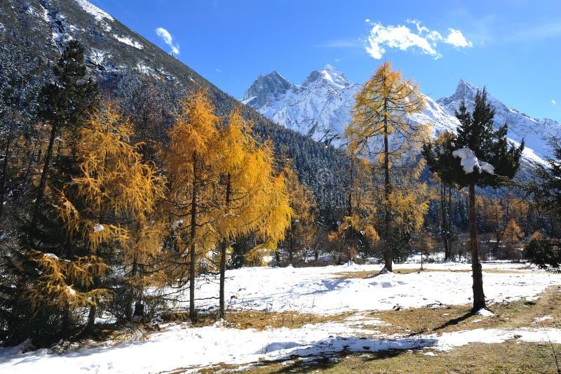 Montagna della neve con il cedro di autunno fotografia stock