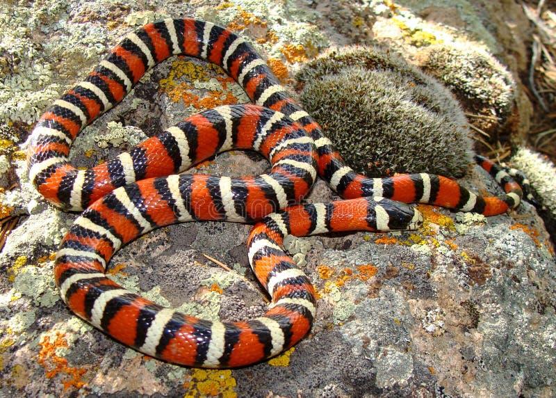 Montagna Kingsnake (re serpente) dell'Utah immagine stock libera da diritti