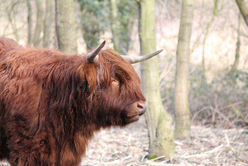 Montagnard écossais photographie stock