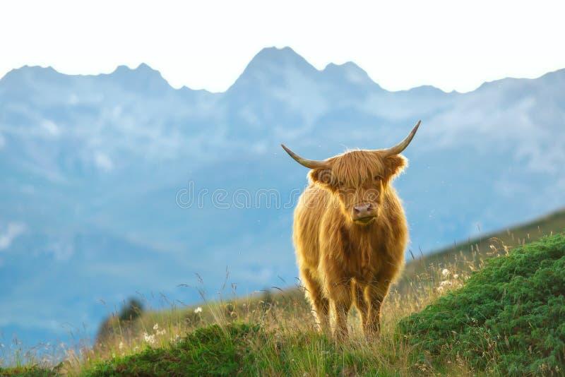 Montagnard - vache écossaise image stock