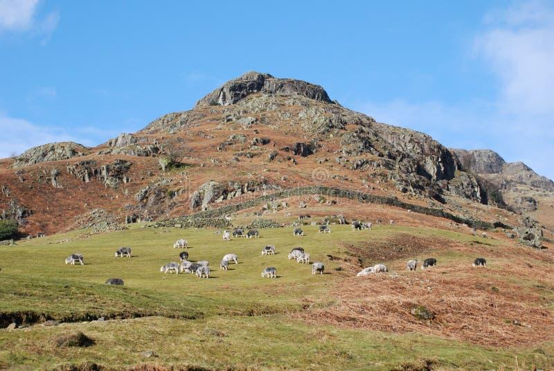 Montagne anglaise, paysage d'hiver, mouton frôlant du côté de montagne image stock