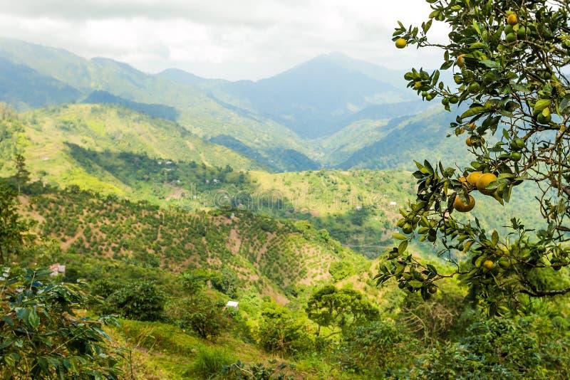 Montagne blu della Giamaica in cui il caffè è coltivato fotografia stock libera da diritti