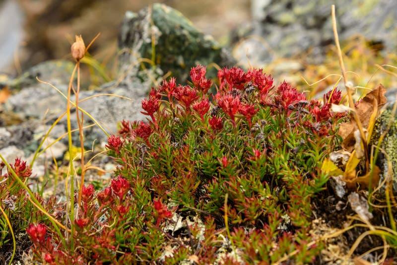 Montagne del roseroot di rhodiola rosea del fiore fotografia stock