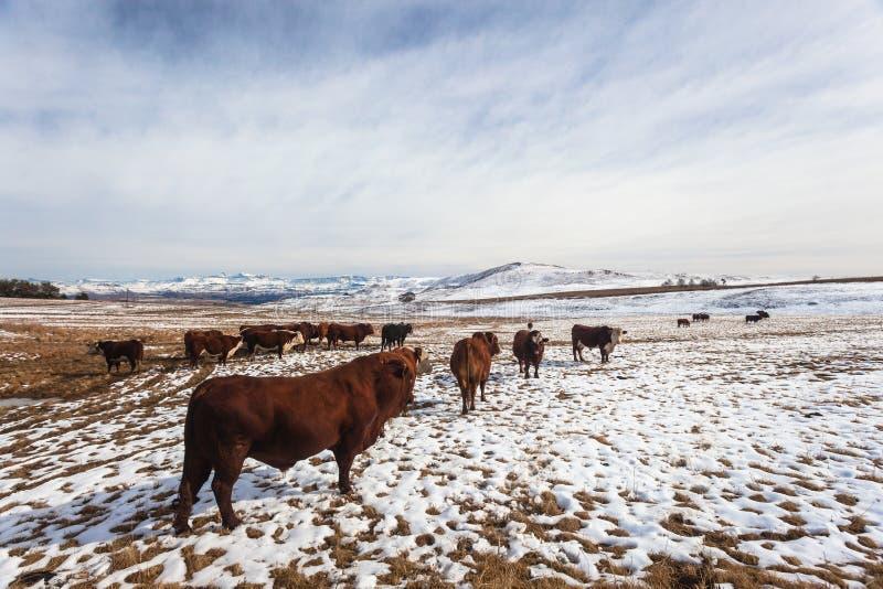 Montagne della neve del gregge di bestiame immagine stock libera da diritti
