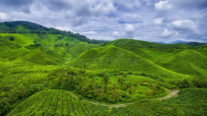 Montagne du Cameroun de ferme de thé images libres de droits