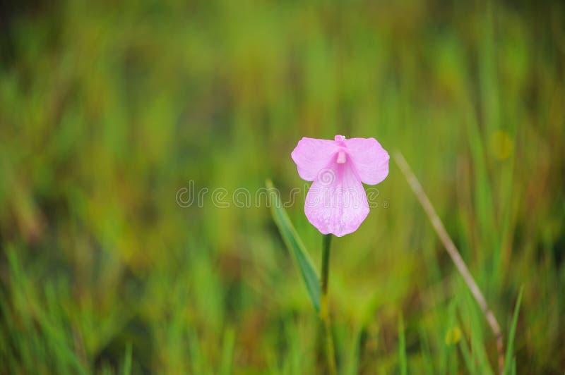 Montagne fragile de fleur photographie stock libre de droits