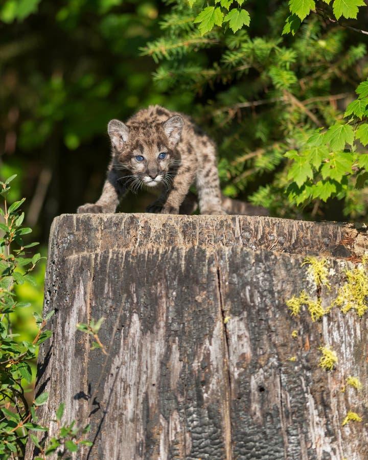 Montagne Lion Cub images libres de droits