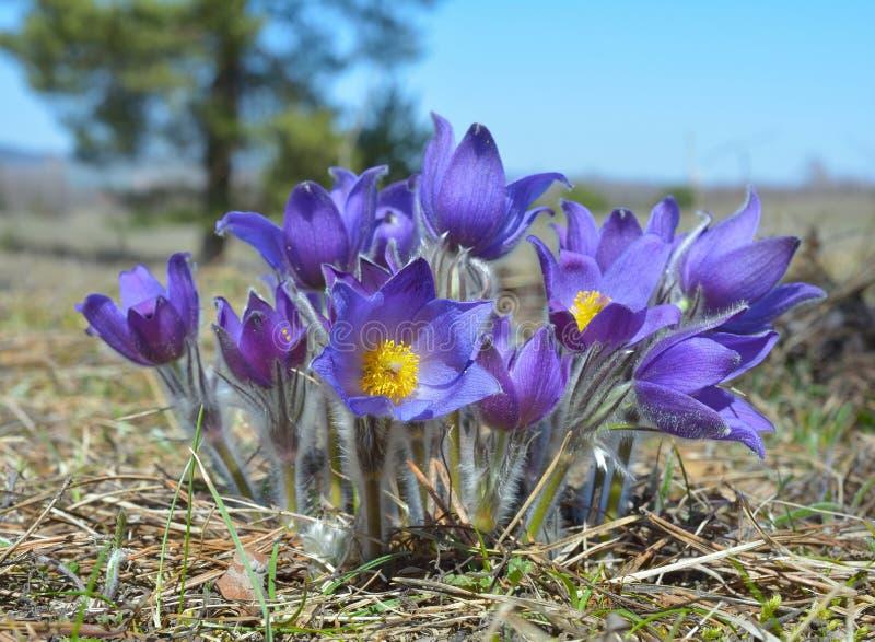 Montagne Pasqueflower (Pulsatilla Montana) photographie stock libre de droits
