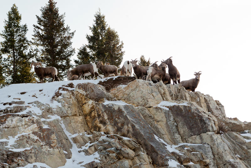 Montagne Ram Pack photographie stock