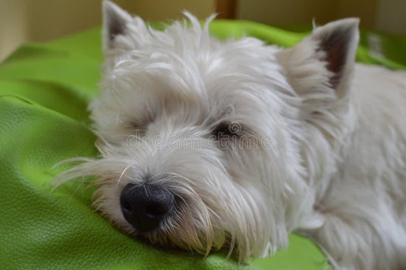 Montagne Terrier blanc occidentale se trouvant sur son sommeil de lit Westy Nature, chien, animal familier, portrait images stock
