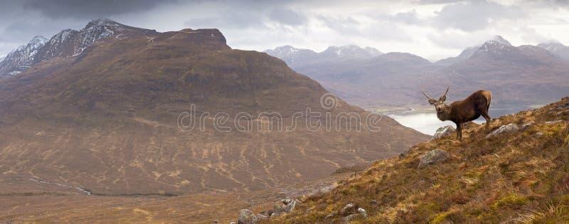 Montagnes écossaises, mâle sauvage photographie stock libre de droits