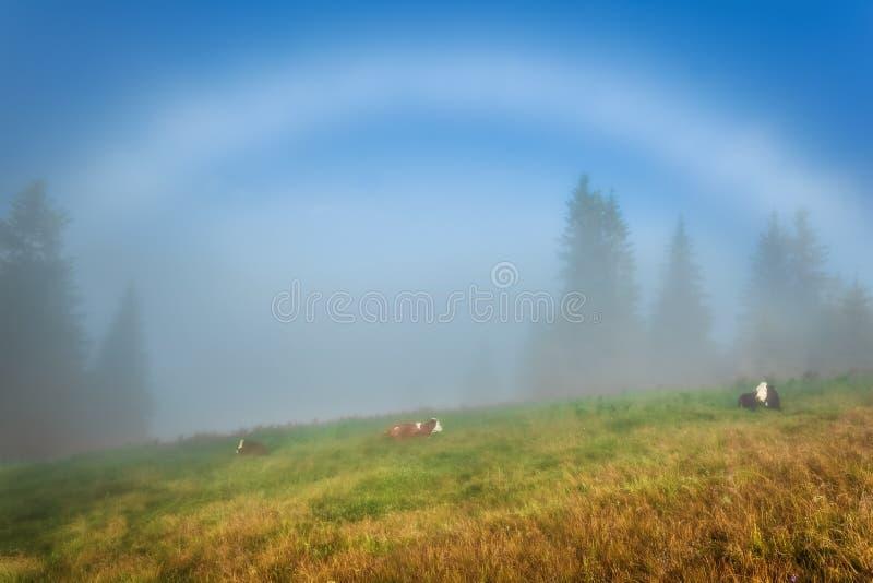 Montagnes carpathiennes Les vaches se trouvent sur les pentes sous un arc-en-ciel blanc photographie stock