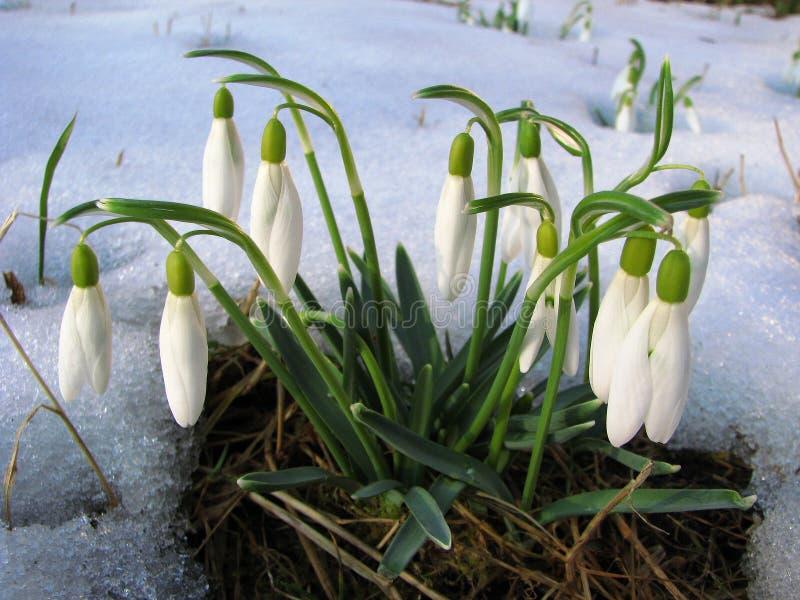 Montagnes carpathiennes ukrainiennes Lis de fleur photographie stock libre de droits