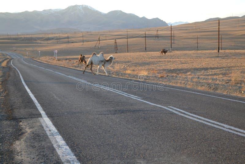Montagnes d'Altai, chameaux sur la route photographie stock