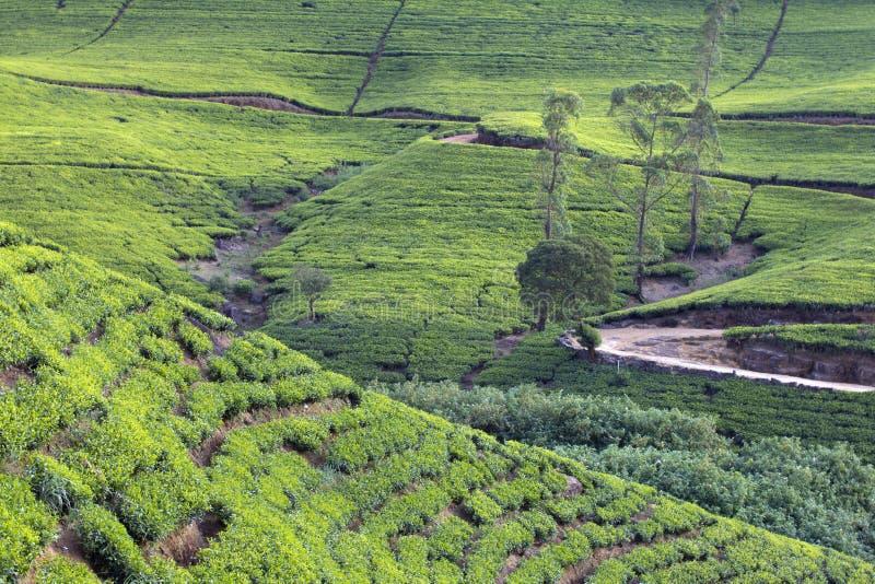 Montagnes de jardin de thé de Sri Lanka images libres de droits