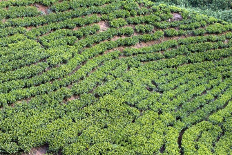 Montagnes de jardin de thé du Sri Lanka image libre de droits