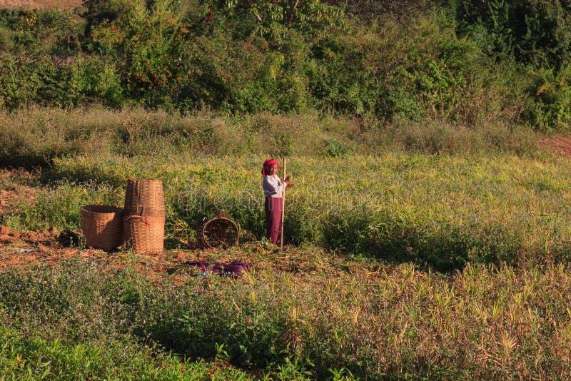 Montagnes de Kalaw, Myanmar - 18 novembre 2019 : Agriculteurs locaux travaillant dans les montagnes autour de Kalaw et de lac Inl images libres de droits